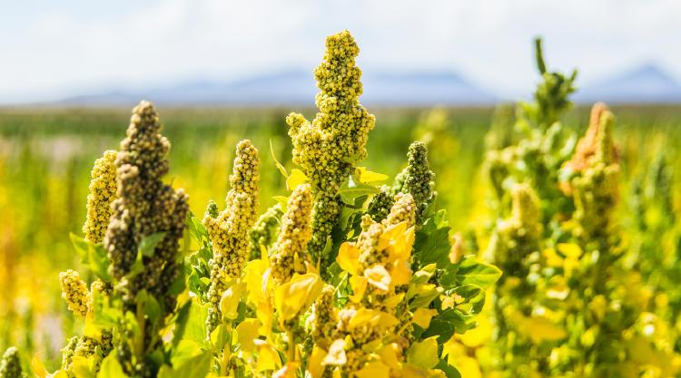 Quenopodiáceas polen