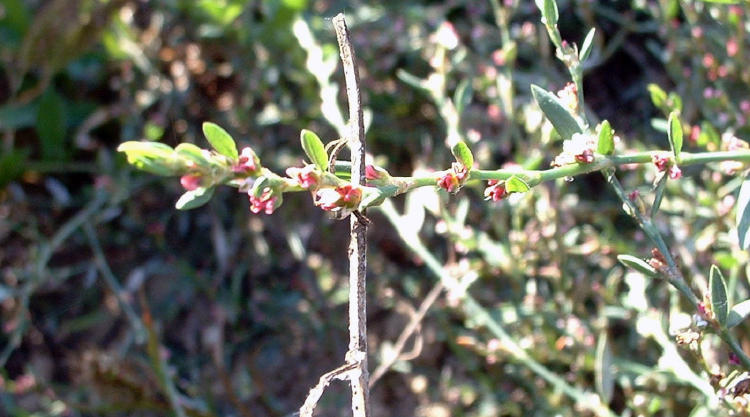 Centinodias polen